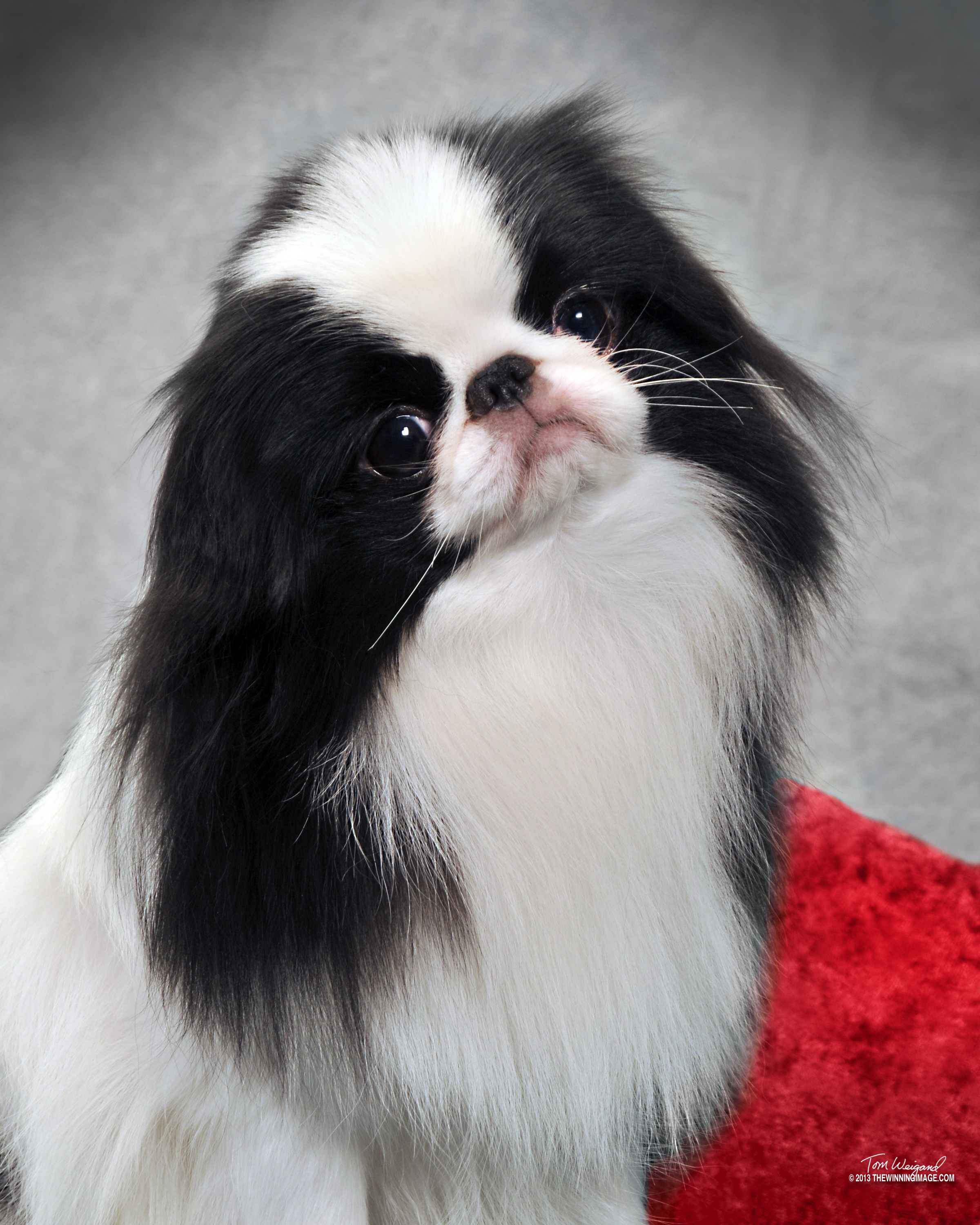 Japanese Chin Puppies By Anime Chin Breeder Of Quality Japanese Chin